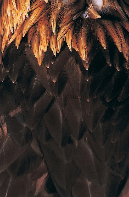 Golden eagle neck feathers<br /> (Aquila chrysaetos)<br /> used by Kazakhs for hunting<br /> Western Mongolia