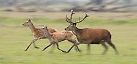 Red deer (Cervus elaphus) stag and hinds running. Oostvaardersplassen, Netherlands. Mission: Oostvaardersplassen, Netherland, June 2009.