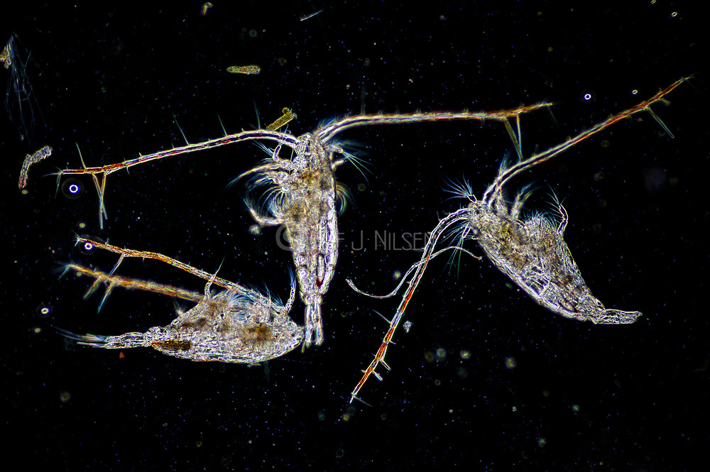 Marine copepod from the genus Calanus. Collected from coastal surface waters of south-western Norway in May 2011.
