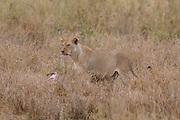 Lions in East African habitat.