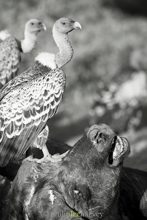 Vultures stand and scavenge on the carcass of a buffalo in Cottars Conservancy, Kenya