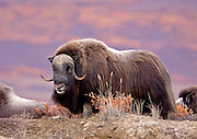 Alaska. Mature Muskox (Ovibos moschatus) bull on guard for other bulls and herd predators, during the autumn breeding season on the Seward Peninsula, outside of Nome.
