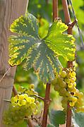 Vine leaf. Chardonnay. Beaune, Cote d'Or, Burgundy, France