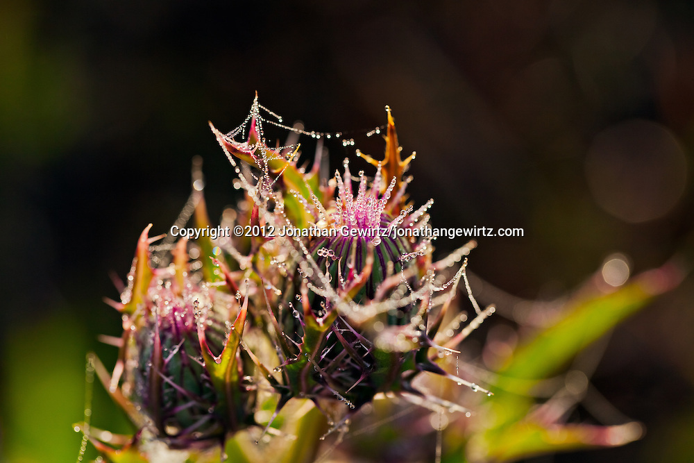 A closed thistle flower covered in morning dew drops in the Florida Everglades. WATERMARKS WILL NOT APPEAR ON PRINTS OR LICENSED IMAGES.