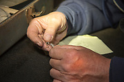 A volunteer prepares a leg band for placement on a recently captured American woodcock near Bancroft, Wisconsin.