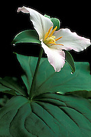Trillium flower in Redwood National Park, CA.<br />