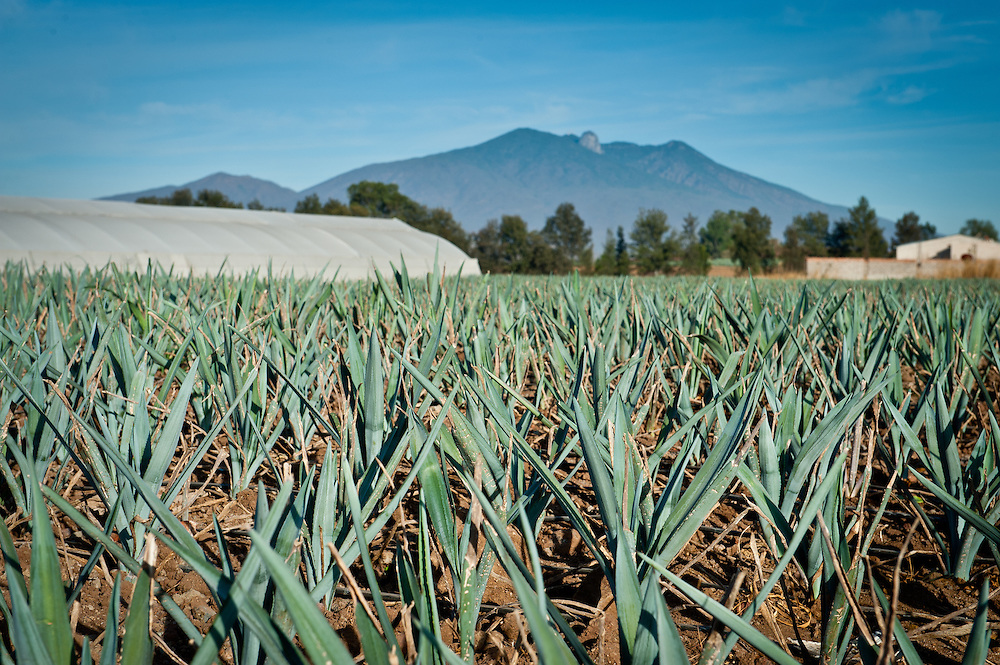 The Tequila volcano looms behind a field of young blue agave shoots.