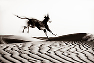 A Sloughi dog (Arabian greyhound) runs in the sand dunes, in the Sahara desert of Morocco. Black and white image with motion blur.