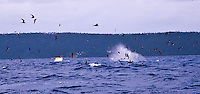 Tonga humpback whales and Fiji sharks September 2011
