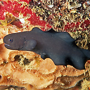 Caribbean Brotula