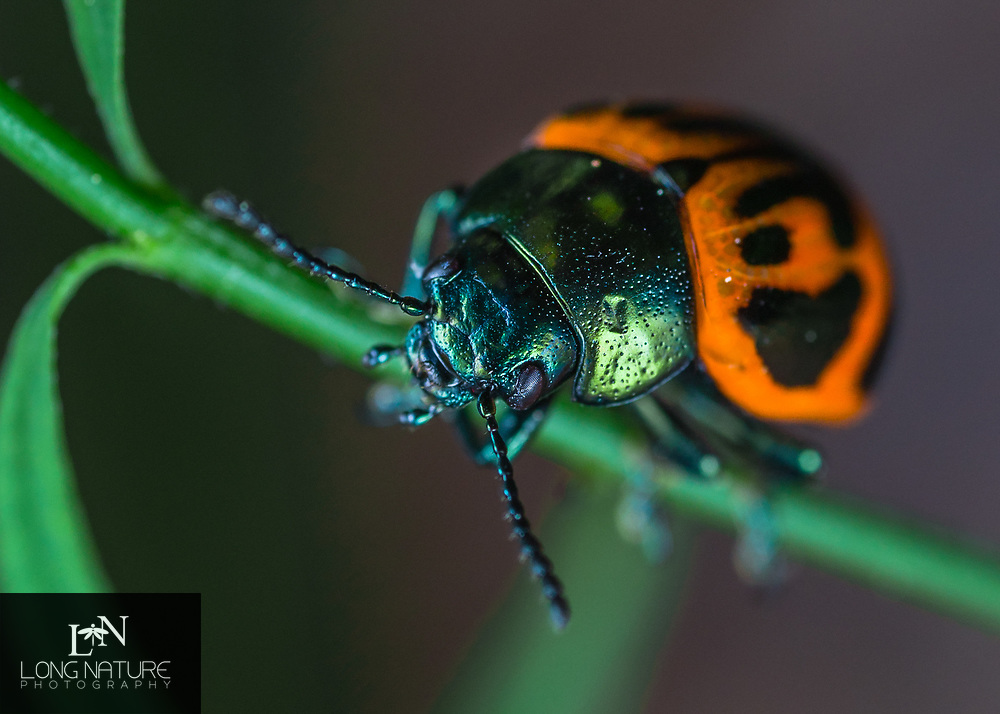 Labidomera clivicollis - Swamp Milkweed Leaf Beetle.  Enchanted Forest Reserve, Titusville,Florida USA