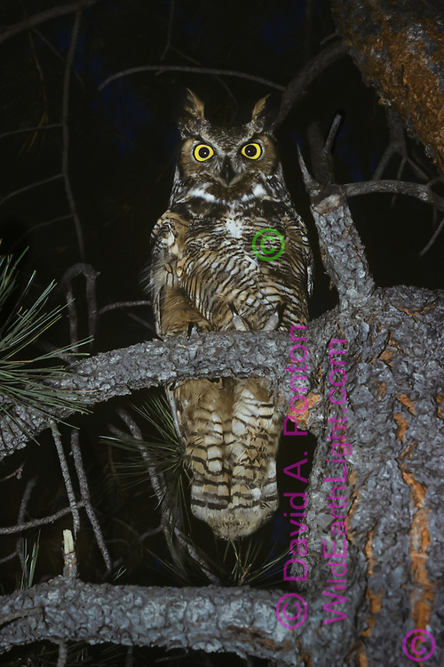 Great-horned owl perched in ponderosa pine tree at night, fully alert. © David A. Ponton