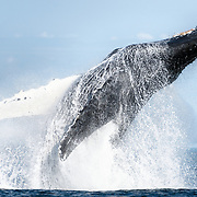 This North Pacific humpback whale (Megaptera novaeangliae kuzira) was part of a group of whales that engaged in cooperative bubble-net feeding for several days. One morning, this whale breached multiple times, prompting the other whales in the group to breach and pectoral slap for an extended period of time, as they ended their social foraging behavior and the whales went their separate ways.