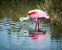 Roseate Spoonbill. Black Point Wildlife Drive, Merritt Island National Wildlife Refuge. Image taken with a Nikon D3s camera and 80-400 mm VR lens (ISO 200, 400 mm, f/5.6, 1/640 sec).