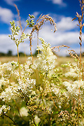 Meadowsweet, Filipendula ulmaria. Herbaceous wildflowers and grasses in the UK