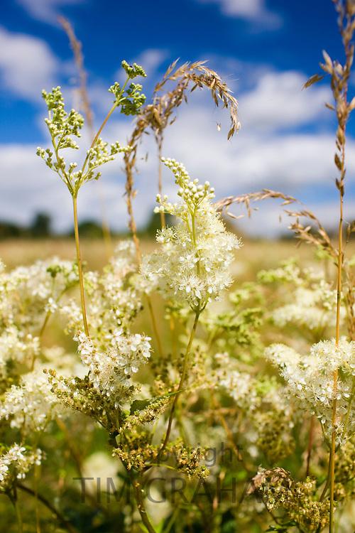 Meadowsweet, Filipendula ulmaria. Herbaceous wildflowers and grasses in the UK