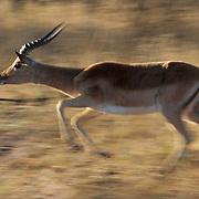 Impala, runs across the Malamala bush. Malamala Game Reserve, South Africa.