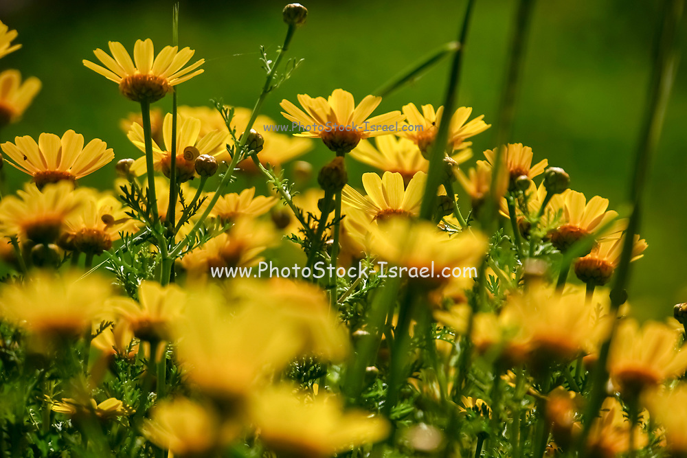 A field of vibrant yellow and orange Daisies