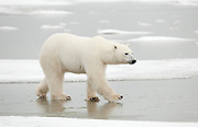 Adult polar bear walking on ice at surface of frozen pond, near Hudson Bay  Ursus maritimus, Hudson Bay, Canada