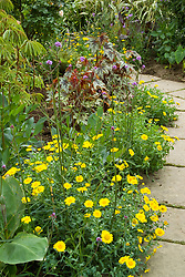 Chrysanthemum segetum (Corn marigold) lining the paths in the exotic garden at Great Dixter