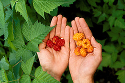 AK: Alaska Denali National Park, Salmon Berries    .Photo Copyright: Lee Foster, lee@fostertravel.com, www.fostertravel.com, (510) 549-2202.Image: akdena232