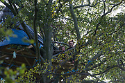 Two anti-HS2 tree protectors look down from a makeshift tree house about 60 feet above ground during evictions by National Eviction Team bailiffs working on behalf of HS2 Ltd from a wildlife protection camp in the ancient woodland which inspired Roald Dahl's Fantastic Mr Fox at Jones' Hill Wood on 1 October 2020 in Aylesbury Vale, United Kingdom. Around 40 environmental activists and local residents, some of whom living in tree houses, were present during the evictions at Jones' Hill Wood which had served as one of several protest camps set up along the route of the £106bn HS2 high-speed rail link in order to resist the controversial infrastructure project.