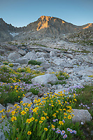 Field of wildflowers composed of purple Asters and yellow Arnica in Indian Basin, Jackson Peak is in the distance, Bridger Wilderness, Wind River Range wyoming