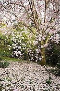 Magnolia campbellii 'Alba' at Caerhays Castle, Cornwall, UK