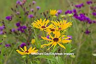 63899-05409 Sweet Black-eyed Susan (Rudbeckia subtomentosa) and Missouri Ironweed (Vernonia missurica) Marion Co., IL