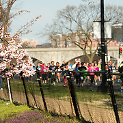 Runners in the 2013 Cherry Blossom 10-Mile Run. Scheduled to coincide with the National Cherry Blossom Festival in early spring, the race takes runners along the National Mall and by the famous cherry blossoms around the Tidal Basin. Some of the last cherry blossom flowers of the season are at right, with Memorial Bridge in the background. At left of frame are some of the early cherry blossom flowers.