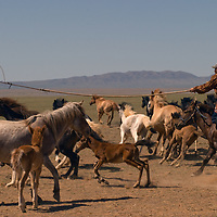 A nomadic Mongolian herder in the Gobi Desert tries to catch a horse with his lasso-pole called an Uurga.