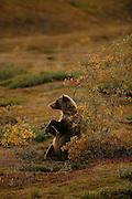 Grizzly Bear (interior Alaska), Ursus arctos; autumn, standing, rubbing on willow, alpine tundra, hibernates in winter, Denali National Park, Alaska, ©Craig Brandt, all rights reserved; brandt@mtaonline.net