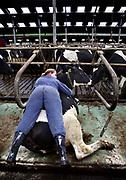 Cow cuddling on a Frisian farm // Koeknuffelen op een boerderij in Friesland. De koeien op deze boerderij zijn gewend aan het menselijke contact en de meeste koeien vinden het contact prettig.