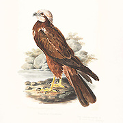 Males Western Marsh Harrier (Circus aeruginosus), also called Eurasian Marsh Harrier grasping a fish in it's talons. 18th century watercolor painting by Elizabeth Gwillim. Lady Elizabeth Symonds Gwillim (21 April 1763 – 21 December 1807) was an artist married to Sir Henry Gwillim, Puisne Judge at the Madras high court until 1808. Lady Gwillim painted a series of about 200 watercolours of Indian birds. Produced about 20 years before John James Audubon, her work has been acclaimed for its accuracy and natural postures as they were drawn from observations of the birds in life. She also painted fishes and flowers. McGill University Library and Archives