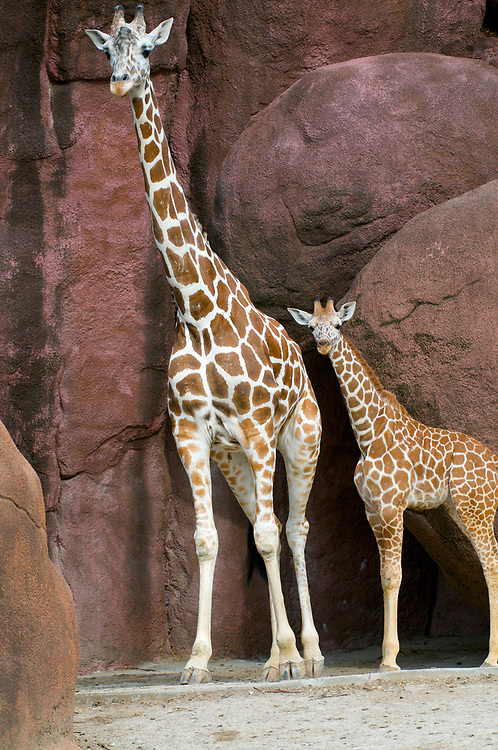 Giraffes at the Saint Louis Zoo in St. Louis, Missouri