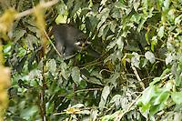 Red-eared Guenon (Cercopithecus erythrotis erythrotis).  Endangered Species (IUCN Red List: VU).