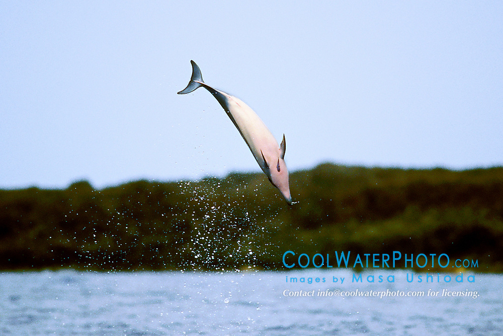 young Long-snouted Spinner Dolphin, tail-over-head jumping, Stenella longirostris, note remora on chest, Big Island, Hawaii, Pacific Ocean (2 of 4)