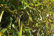 Autumn Bamboo