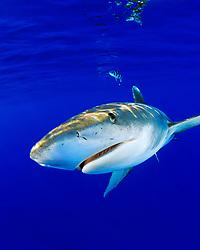 oceanic whitetip sharks, Carcharhinus longimanus, with pilot fish, Naucrates ductor, off Kona Coast, Big Island, Hawaii, Pacific Ocean