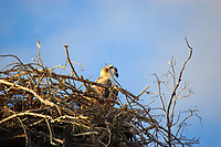 An osprey sits patiently in its nest in the Florida Everglades while its mate is off hunting.