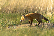 Red Fox Kit playing at its den, central Montana.