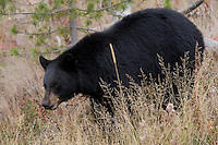 Black Bear - Oak woodland