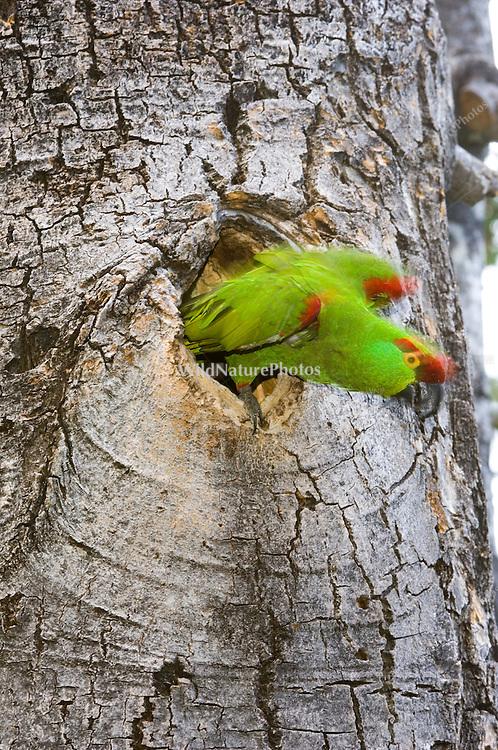 Thick-billed Parrot, Rhynchopsitta pachyrhyncha, nesting in Quaking Aspen