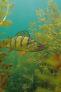 Yellow Perch (in Eurasian Watermilfoil)<br /> <br /> ENGBRETSON UNDERWATER PHOTO