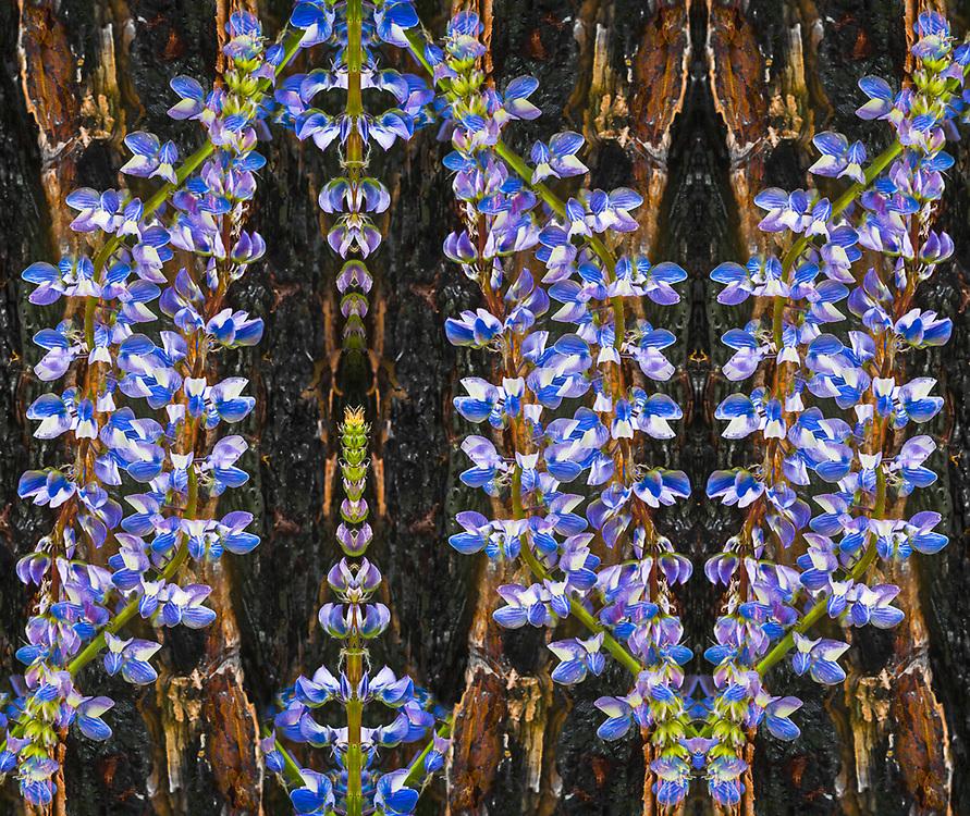 """Lupinus and Pinus Symbiosis"", Lupine wildflowers (Lupinus spp.) and fire charred ponderosa pine tree (Pinus ponderosa), June, Okanogan National Forest, Washington, USA"