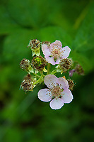 When looking at the flower of the Himalayan blackberry, it's easy to see that it actually is a member of the rose family. A favorite of bees and loads of other wildlife who love the delicious sweet blackberries that come later in the summer, this highly invasive import which is actually from the Armenia area (not sure where the  Himalayan part of the name comes from)  thrives in the Pacific Northwest and is a major pest for gardeners and forest stewards all over the region. This one was found in the Woodard Bay Conservation Area just outside of Olympia, Washington on a beautiful summer afternoon.