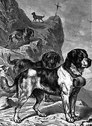 St Bernard mountain rescue dogs with flasks of brandy on their collars.  Named for St Bernard of Menthon (fl 1081) who built two mountain rest houses (Hospices) in the Alps.  Wood engraving circa 1880