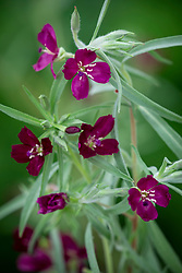 Clarkia purpurea 'Burgundy Wine'
