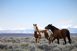 Wyoming Mustangs, a paint and a bay in the high desert near Farson Wyoming.  The Wind River Mountain in the background.
