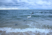 Seagull soaring as it flies over Nantucket Sound, Atlantic Ocean, at Harding Shores, Cape Cod, New England, USA